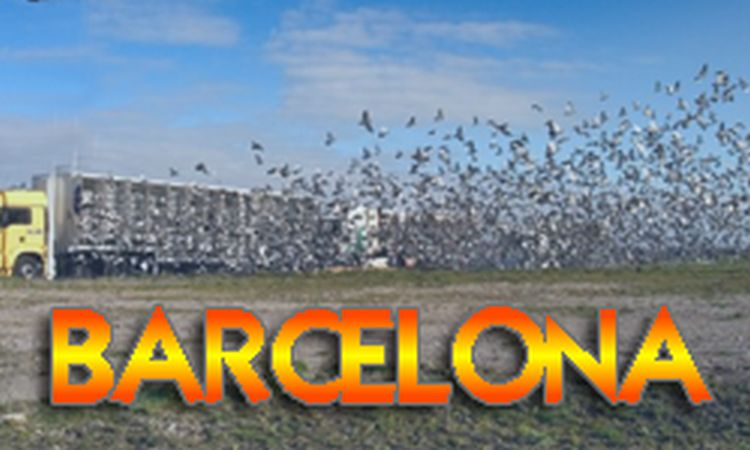 Primus Inter Pares - International Barcelona - beste Taube über die letzten 5 Jahre