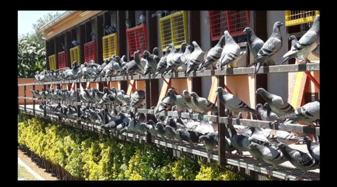 DERBY MALLORCA 2019 - News from the training of the Derby pigeons ...