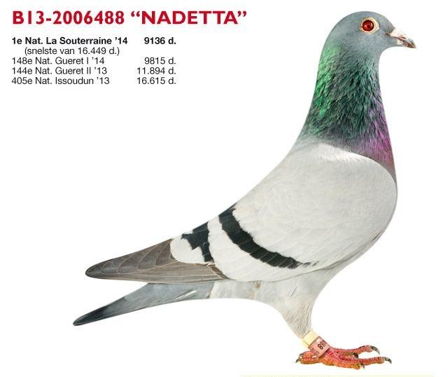JESPERS-VANDER DUE de Holsbeek (B)… – Markt.de pigeons